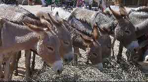 The donkey could become an endangered species in Nigeria [Video]