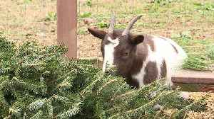 North Carolina Man Collects Christmas Trees to Feed His Goats [Video]