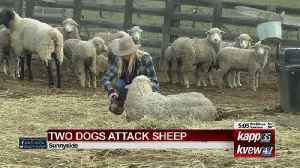 DOGS ATTACK SHEEP [Video]