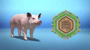 What is African Swine Fever? [Video]