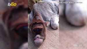 Holy Cow! A Disfigured Cow In India Is Worshipped As A 'Miracle of God' [Video]