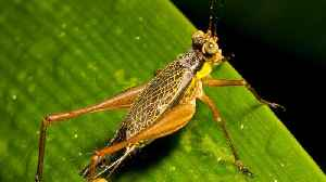 Are Crickets The Reason For Mysterious 'Sonic Attack' In Cuba? [Video]