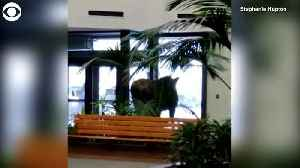 WEB EXTRA: Hungry Moose In Building [Video]