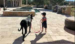 Toddler takes gentle Great Dane for first walk together [Video]