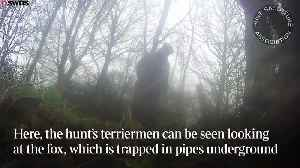Hunters drag fox out hole to be hunted by hounds [Video]