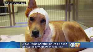 Dallas Animal Cruelty Investigation Continues As SPCA Gets Custody Of Injured Dog [Video]