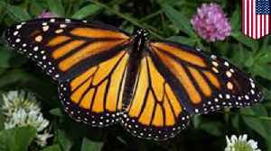 Monarch butterflies may be driven into extinction [Video]
