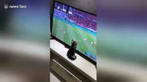 Kitten watching Asian Cup tries to catch football on TV [Video]