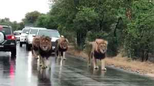 Lions on patrol in South Africa turning heads [Video]