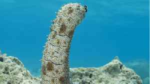 Would You Risk Your Life For A Sea Cucumber? Some People Are Doing Just That [Video]