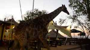 Giraffe casually walks through South African restaurant [Video]