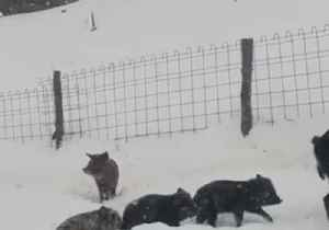 Pig Family Goes the Whole Hog Tunneling Through Austrian Snow [Video]
