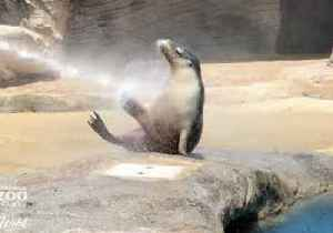 Sea Lion Enjoys a Good Hose Down at Sydney's Taronga Zoo [Video]