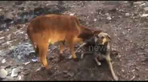 Dog breastfeeds calf after mother cow falls sick from eating plastic [Video]