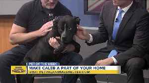 News video: Pet of the week: 4-year-old Caleb is a distinguished gentleman looking for a loving family
