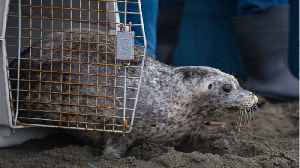 40 Stranded Seals Are Stuck In A Canadian Town [Video]