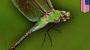 New research reveals dragonfly annual migration cycle [Video]