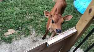 Adorable calf becomes best friends with dog [Video]