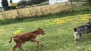 Dog And Cow Are Best Friends Furrrever [Video]
