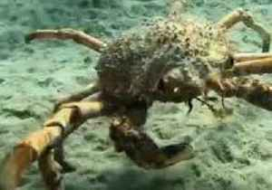 Crabby Crab Lets Diver Know Who's Boss in Waters Off Victoria [Video]