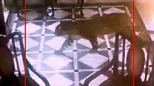 Leopard enters hotel lobby in Mussoorie, roams free for 15 minutes [Video]