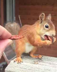 Squirrel Tries to Carry Three Nuts in Mouth [Video]