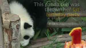 Panda cub in Malaysia gets surprise birthday party [Video]