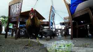 Customers share salad leftovers with chickens in outdoor restaurant [Video]
