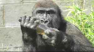 Gorilla tries to figure out how to drink from bottle [Video]