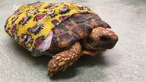 Get the Shell Outta Here! Fashionable Tortoise Sports Yellow, Printed Bandage After Life-Saving Surgery [Video]
