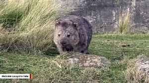 Australia Asks That People Stop Taking Selfies With Wombats [Video]
