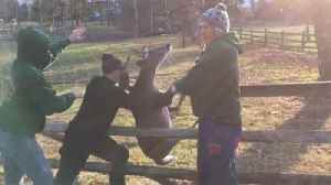 Doting man frees distressed deer after antlers got stuck in fence� [Video]