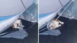That's in-tents! Mischievous bulldog puppy tears apart owner's tent [Video]