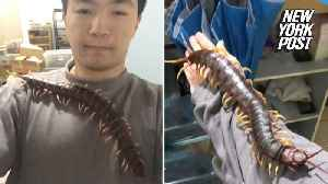 Man treats nasty pet centipede like a cat [Video]