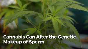 Can Cannabis Alter The Genetic Makeup Of Sperm [Video]