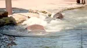 Animals at Sydney's Taronga Zoo keep their cool amid soaring temperatures [Video]
