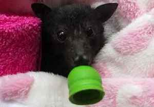 Wiggly Eared Wonder: Baby Bat Marigold on the Mend After Rescue [Video]
