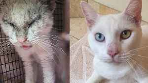 Cat With Eyes Crusted Shut With Mange Opens Them To Reveal Differently Coloured Eyes [Video]