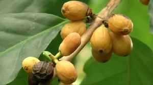 Many coffee species threatened with extinction - scientists [Video]