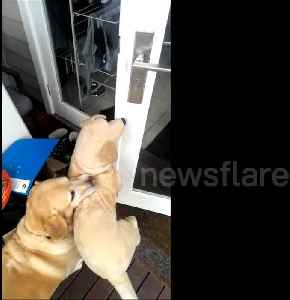 Not without my toy! Persistent dog struggles to enter home with stuffed animal [Video]