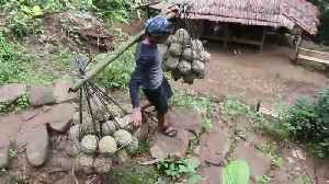 Strong durian bearers carry up to 120 kg of fruit to market every day [Video]