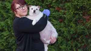 Overweight Jack Russell becomes instagram sensation for his bulging waistline – despite being on diet for three years [Video]