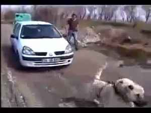 Kangal - The Strongest Dog in the World [Video]