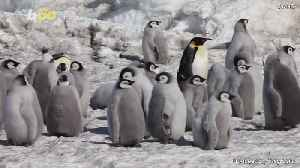 Captured on Video, Baby Emperor Penguins March to Their First Swimming Lesson [Video]