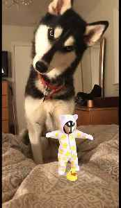 Husky super confused by sound of baby's laugh [Video]