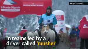 300 dogs run across the French alps in sled racing competiton [Video]