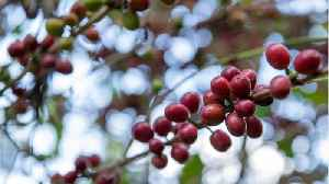 Wild Species Of Coffee Could Go Extinct In Ten Years [Video]