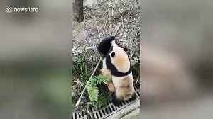 Keeper uses apples to stop intense fight between pandas [Video]