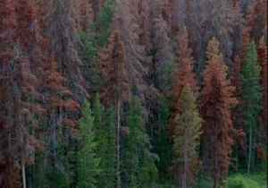 Colorado State Forest Service: Study shows our forests are in trouble from beetle kill [Video]