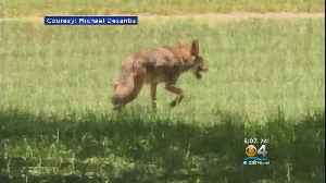 Coyotes Spotted In Oakland Park [Video]